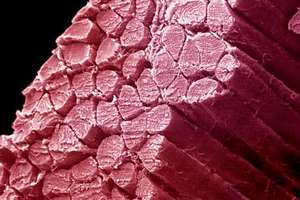 Американские ученые вырастили мышечную ткань из клеток кожи